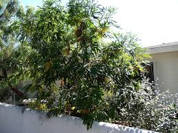 weeding wild suburbia all about catalina ironwood tree lyonothamnus floribundus native
