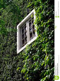 green climbing tree plant wall with white window stock images