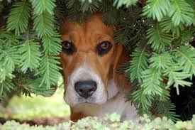 is my dog hiding