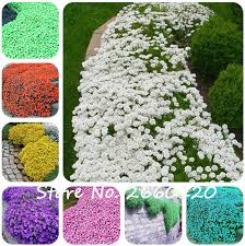 100 pcs colorful rock cress seeds or creeping thyme seeds