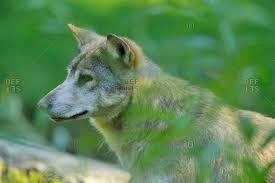 one wolf stock photos offset