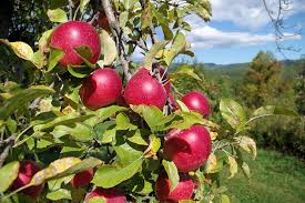 Best Fruit Trees For North Carolina - apple farm orchards near asheville and hendersonville