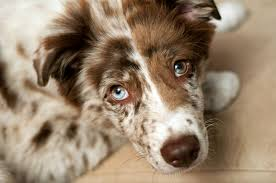 australian shepherd vs border collie what color are you aussies eyes wigglebutts