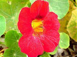 nasturtium plants bright and showy garden jewels year after year