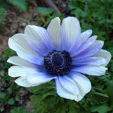 anemone flowers anemone anemone flower types of anemone flowers