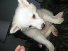how big is american eskimo dog mini american eskimo pomeranian mix dogs pinterest miniature