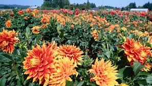 dahlias flowers symbolic meaning of the dahlia flower synonym