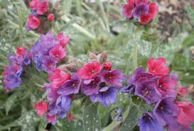 plants are the strangest people pretty pictures pulmonaria