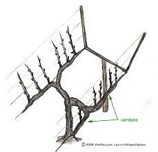 u shaped or lyre trellis viticulture pinterest fruit trees