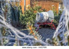 christmas trees on sale with netting tube at garden centre wales
