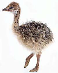 40 best ostrich images on pinterest ostriches animal babies and