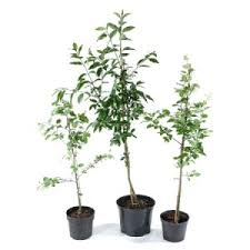 potted trees for sale at trees direct