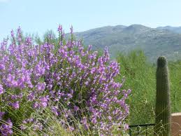 native arizona plants sage bushes with purple flowers bring life to the desert u2013 tjs garden