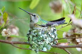 nesting hummingbirds the photography of gary yost ecology