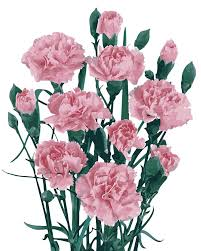 compare prices on carnations flowers pictures online shopping buy