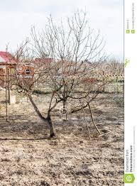 bare apple tree in country backyard garden stock photo image