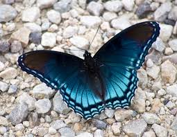 blue butterfly on the ground image free stock photo