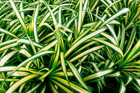spider plant chlorophytum comosum 15 houseplants for improving