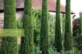 gap gardens row of ornamental conifers in country garden with barn