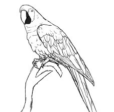 coloring pages magnificent parrot drawing thumb coloring pages