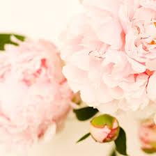 pink peonies nursery flower photography flower photograph light pink peony nursery