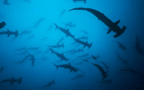 costa rica is not doing enough to protect diminished shark