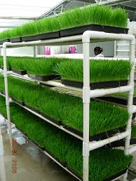 growing wheatgrass hippocrates health institute health