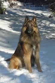 should i get a belgian tervuren 274 best belgian tervuren images on pinterest german shepherds