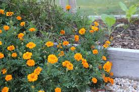 the best flowers for the vegetable garden the kitchen garten