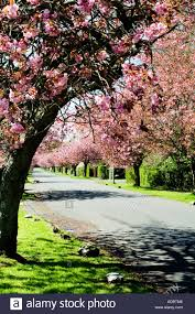 pink cherry blossom trees which line the small streets of stock