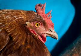 brookfield rejects chicken ordinance