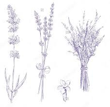drawn lavender lavender bundle pencil and in color drawn