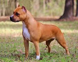 american pitbull terrier akc aim high u0027s tiny dancer at benmar
