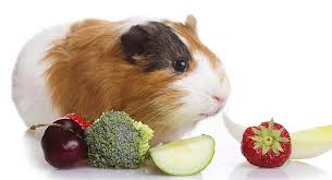 can guinea pigs eat broccoli safely and in what quantity