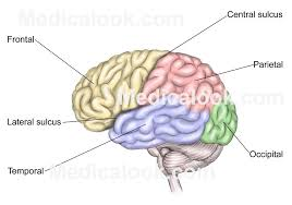 Photos Of Human Anatomy Cerebrum Human Anatomy Organs