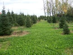 Real Christmas Trees Manchester Grow Trees Not Weeds Weed Control Strategies In Christmas Tree