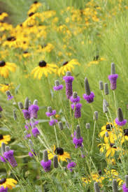 english native plants 33 best meadow matrix gardens and plants images on pinterest