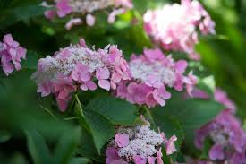 hydrangeas flowers how to prune hydrangeas