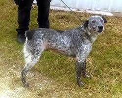 australian shepherd utah rescue view ad australian shepherd mix dog for adoption texas
