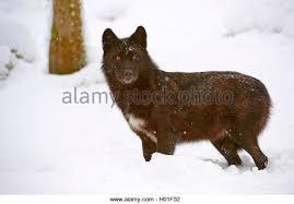 belgian shepherd timberwolf timberwolf canis lupus lycaon schwarze stock photos u0026 timberwolf