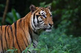 tigers facts u0026 information pictures of tigers