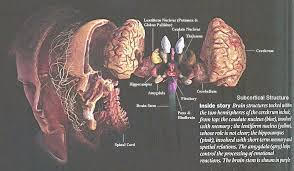 Role Of Brain Stem I10 39 Brain6 Jpg