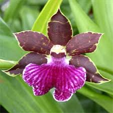 Orchids Care Zygopetalum Orchid Care And Culture Orchid Plant Care