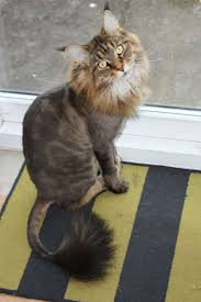 17 best cat hair styles images on pinterest animals funny