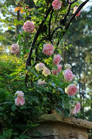 Maryland Pink And Green Wordless The Graceful Gardener Wordless Wednesday Roses U2026in My Garden