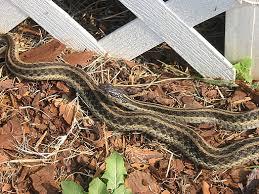 Found A Snake In My Backyard How To Identify North Carolina Snakes U2013 Ricky Spears U0027 Blog