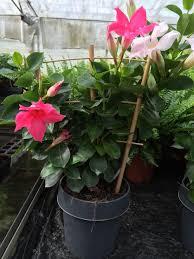 mandevilla house plant trained up mini trellis pink shade