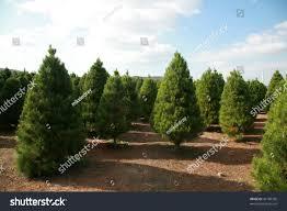 christmas tree farm southern california stock photo 42189736