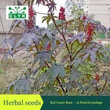 aliexpress buy medicinal uses ricinus communis herbal seeds