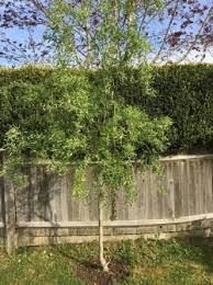 214192 250x334 corkscrew willow tree jpg